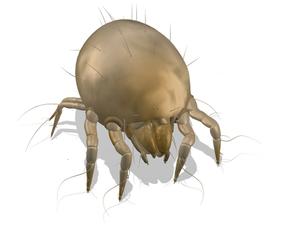 Chortoglyphus arcuatus
