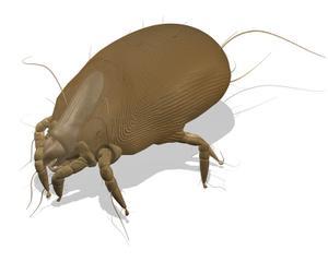 Dermatophagoides farinae