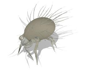 Glycyphagus domesticus