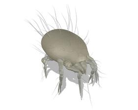 Lepidoglyphus destructor